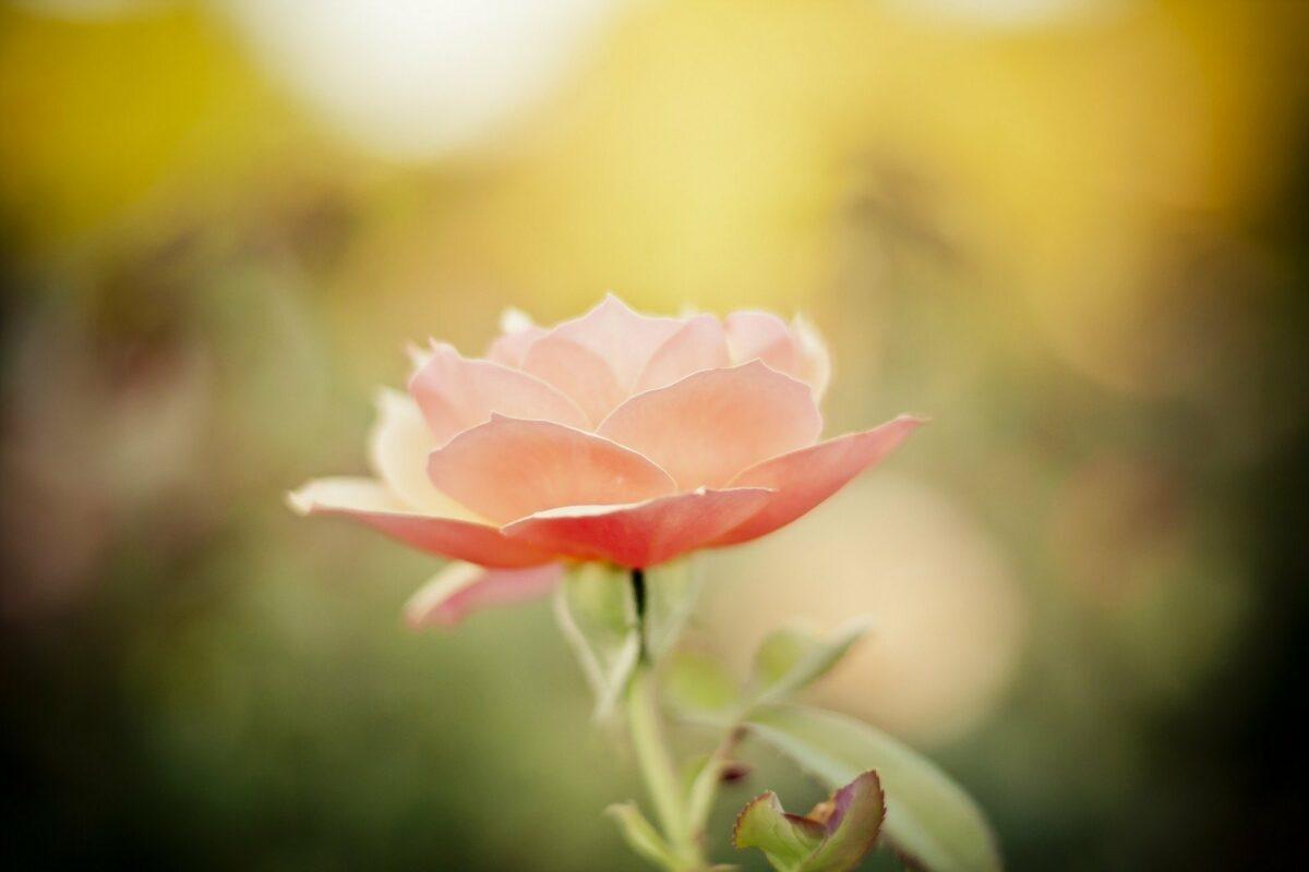 Valentinstag - Rose